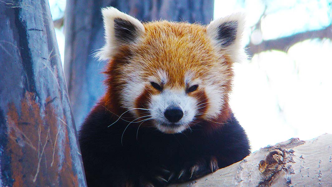 Oldest red panda living in captivity