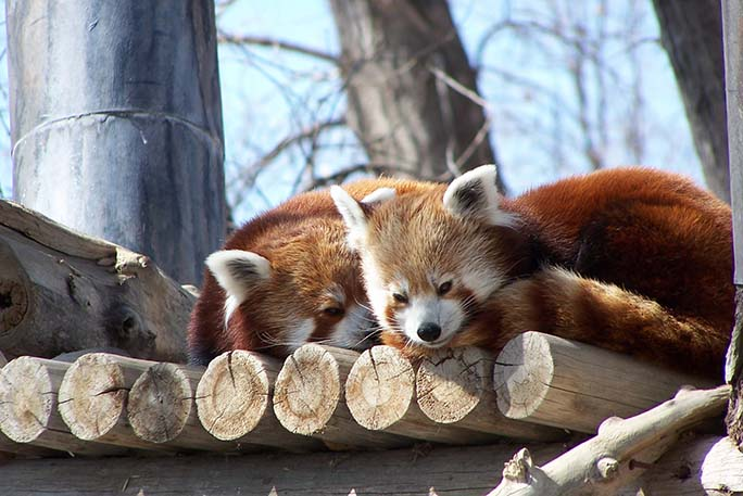 Oldest red panda living in captivity 2