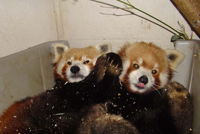 Oldest red panda living in captivity 3