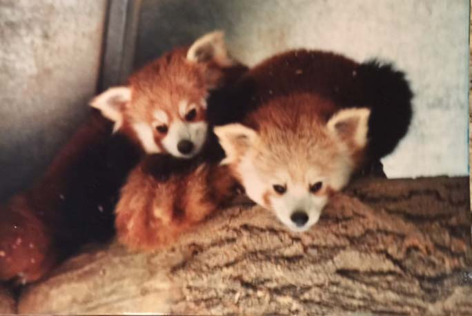 Oldest red panda living in captivity 5