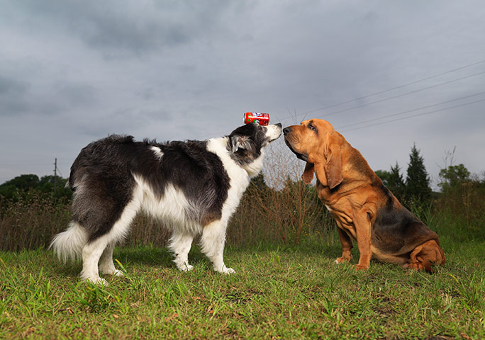 Tigger (right) meets fellow record-breaking hound, Sweet Pea; the Australian shepherd-collie has earned several titles for balancing objects on her head