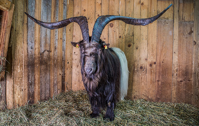 Largest horn spread - goat (living)