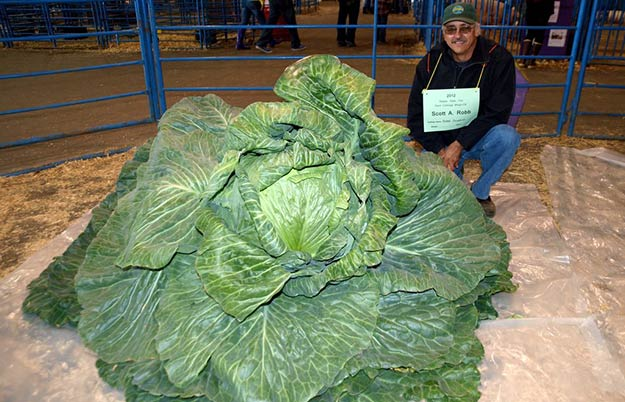 Heaviest cabbage