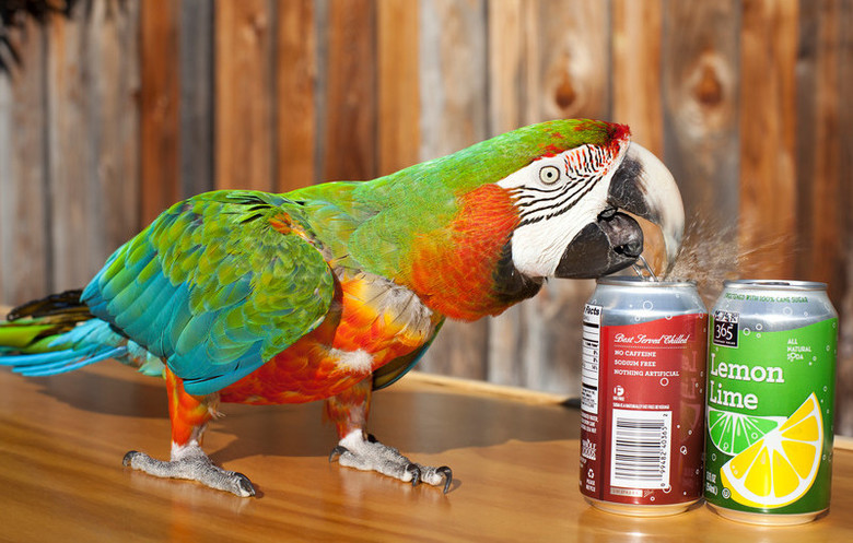 Most canned drinks opened by a parrot in one minute