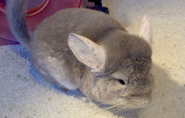 Oldest chinchilla ever