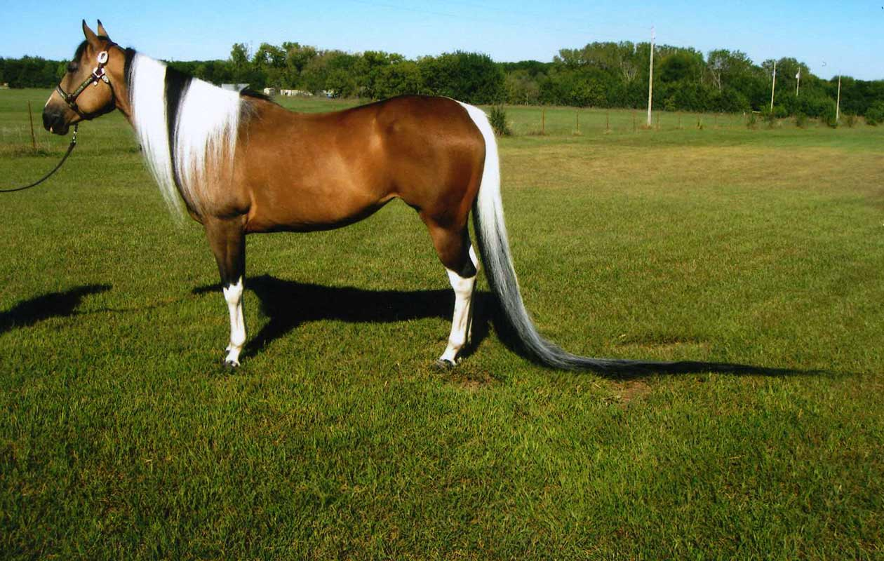 Longest tail on a horse