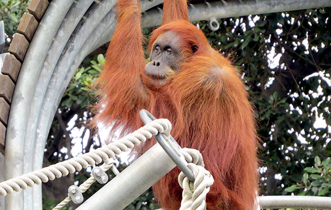 Oldest Sumatran orangutan living