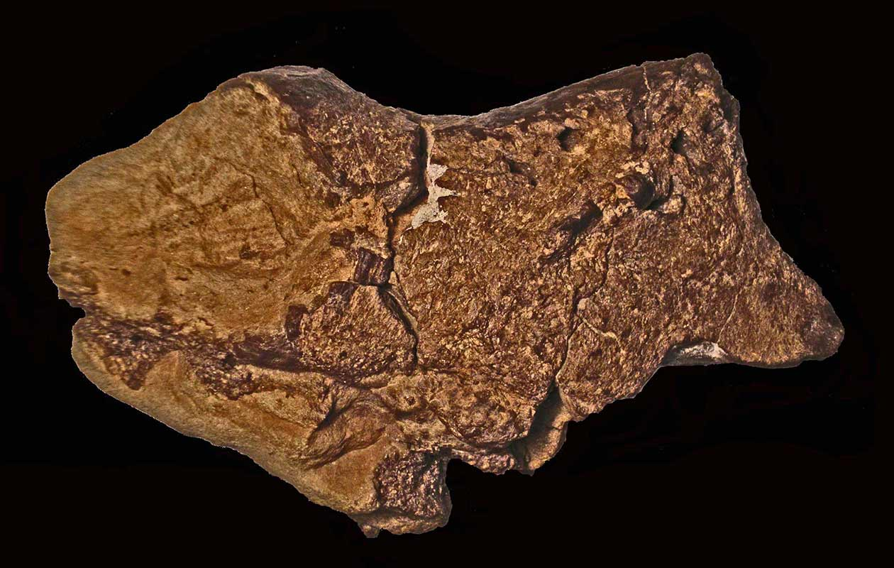 First discovery of a fossilised dinosaur brain