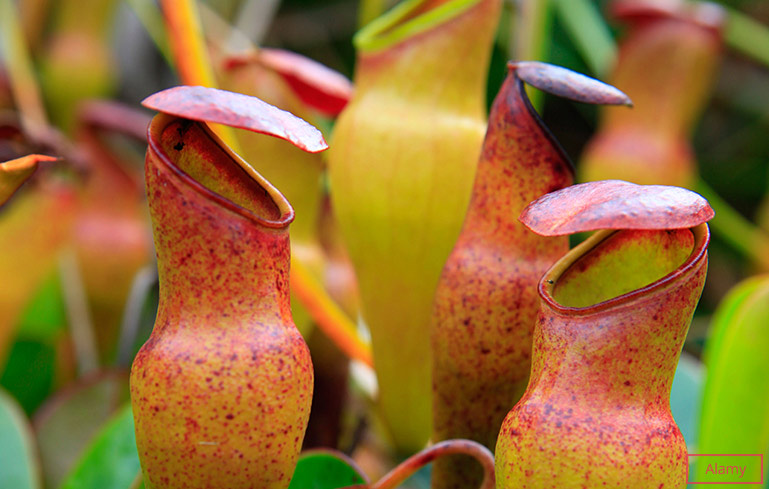 Largest genus of pitcher plants