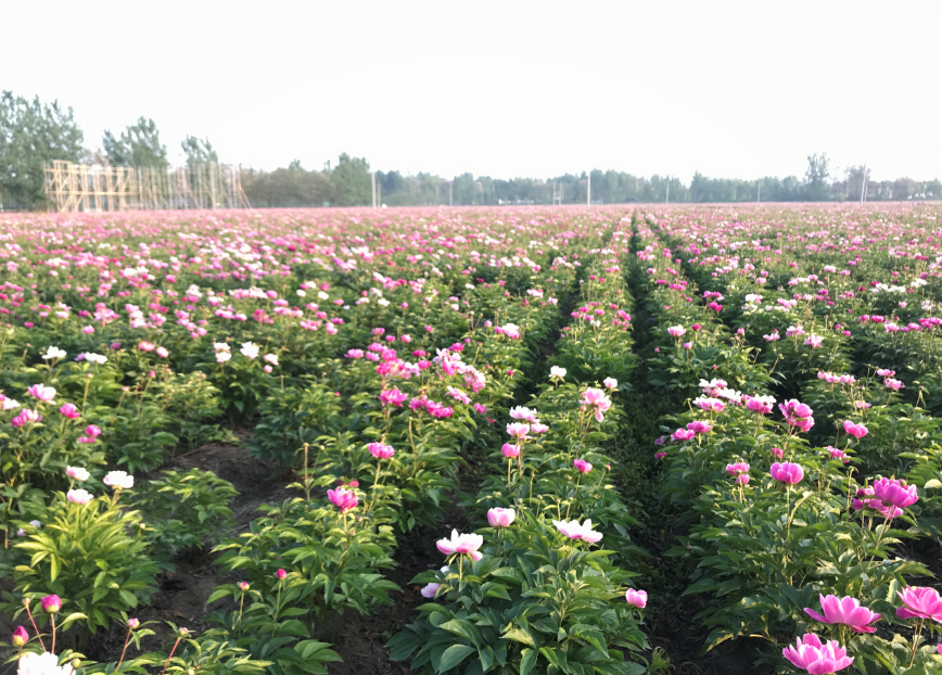 Largest herbaceous peonies field