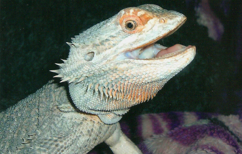 Oldest bearded dragon ever