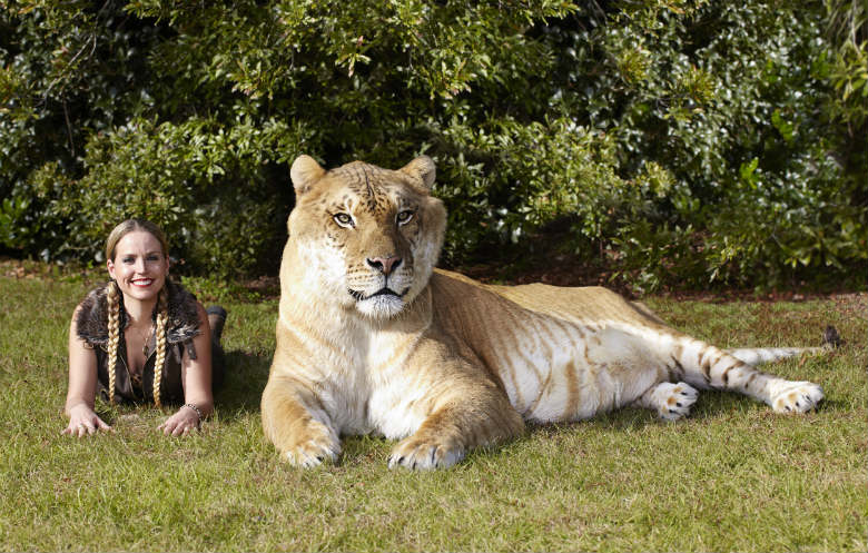 Largest living cat