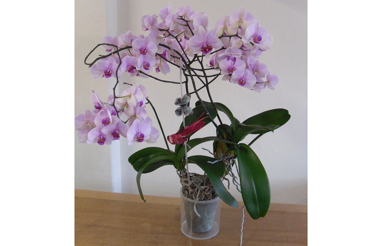 Most blooms on an orchid plant (monopodial)