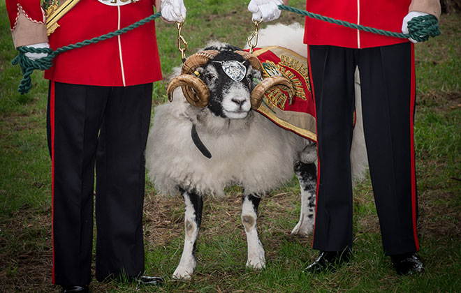Highest-ranking sheep